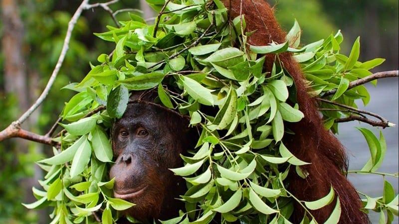 Orangutans a Malàsia