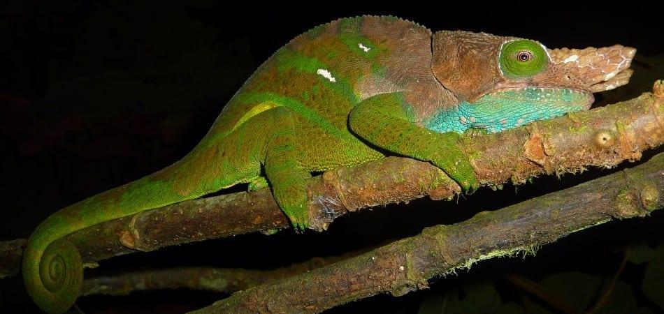 62-ranomafana-park-chameleons-were-easy-to-spot-on-nightwalks-with-our-phenomenal-fenix-ld20-flashlight